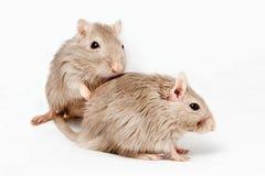 灰色老鼠沙鼠 库存图片