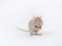 灰色老鼠沙鼠 免版税库存照片