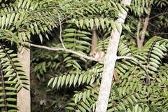 灰色老鼠狐猴, Microcebus murinus在晚上,马达加斯加是活跃的 免版税库存照片
