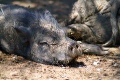 灰色肮脏的猪在地面上说谎 免版税库存照片
