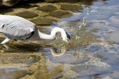 灰色苍鹭传染性的鱼,广岛,日本 免版税库存图片