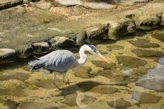 灰色苍鹭偷偷靠近的牺牲者 免版税库存图片