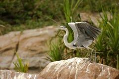 灰色苍鹭准备好的起飞 免版税图库摄影