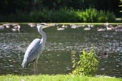 灰色苍鹭和湖 库存照片
