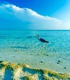 灰色苍鹭和通配海洋海滩 库存照片