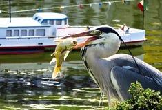 灰色苍鹭和鱼 免版税库存照片