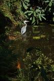 灰色苍鹭和koi鲤鱼在树木园Trompenburg 免版税库存图片
