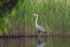 灰色苍鹭在一棵高草站立在水附近 库存图片