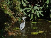 灰色苍鹭在树木园Trompenburg 免版税库存照片