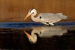 灰色苍鹭在水中 库存图片