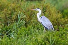 灰色苍鹭在沼泽 免版税图库摄影