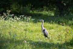 灰色苍鹭在腓特烈斯贝公园,丹麦 免版税库存照片