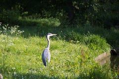灰色苍鹭在腓特烈斯贝公园,丹麦 图库摄影