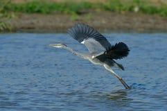 灰色苍鹭在自然生态环境(灰质的ardea) 免版税库存图片