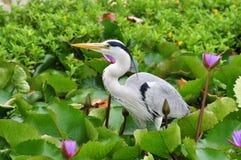 灰色苍鹭在荷花池 库存图片