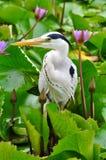 灰色苍鹭在荷花池 免版税图库摄影