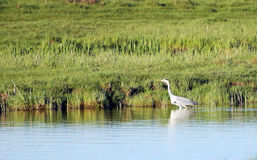 灰色苍鹭在水中沿池塘岸去 免版税库存图片