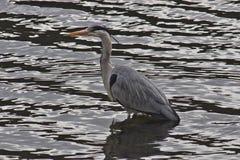 灰色苍鹭在Grasmere 免版税库存照片