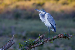 灰色苍鹭坐日志在日落 免版税库存图片