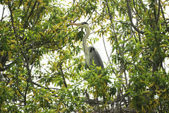 灰色苍鹭坐杨柳的分支 库存照片