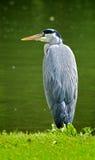灰色苍鹭坐水的边缘 库存图片