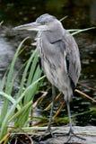 灰色苍鹭最近的暗中侦察的水 免版税库存图片
