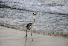灰色苍鹭海滩步行 免版税库存照片
