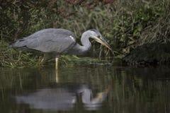 灰色苍鹭画象反射渔 图库摄影