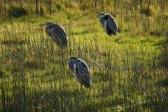 灰色苍鹭画象反射渔 库存图片