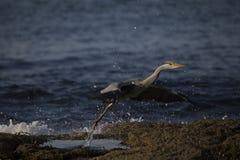 灰色苍鹭画象反射渔 免版税库存照片