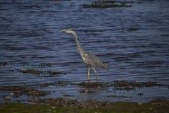 灰色苍鹭画象反射渔 库存照片