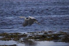 灰色苍鹭画象渔嵌套 图库摄影