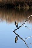 灰色苍鹭肢体栖息 免版税库存图片