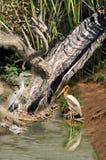 灰色苍鹭被绘的鹳与 免版税库存图片