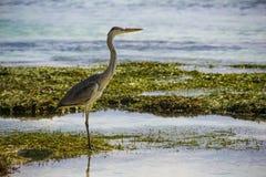 灰色苍鹭逗留,马尔代夫 图库摄影