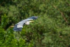 灰色苍鹭飞行在森林里 库存图片