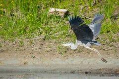 灰色苍鹭飞行本质上 免版税库存图片