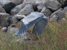 灰色苍鹭飞行 免版税图库摄影