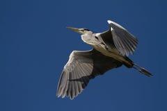 灰色苍鹭飞行 库存照片