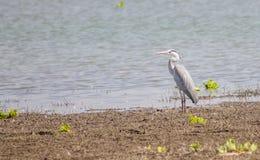 灰色苍鹭鸟 库存图片