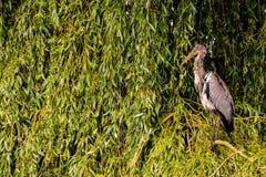 灰色苍鹭鸟 库存照片