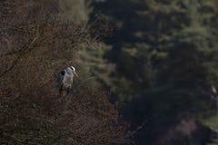 灰色苍鹭,灰质的Ardea,在树栖息的涉水鸟修饰在一个湖旁边在苏格兰, morayshire 免版税库存照片