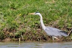 灰色苍鹭,灰质的ardea,搜寻在多瑙河三角洲的食物 免版税库存照片