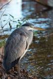 灰色苍鹭,灰质的Ardea 图库摄影