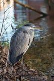 灰色苍鹭,灰质的Ardea 库存照片