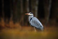 灰色苍鹭,灰质的Ardea,鸟坐在绿色沼泽草的,森林在背景中,动物在自然栖所,挪威 免版税库存照片