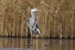 灰色苍鹭,灰质的Ardea 免版税库存照片