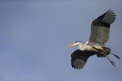 灰色苍鹭,灰质的Ardea 免版税库存图片