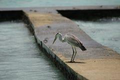 灰色苍鹭,马尔代夫 免版税库存照片