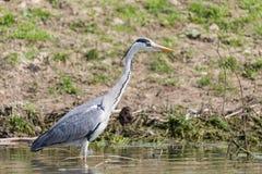 灰色苍鹭, ardea灰质,在搜寻在多瑙河三角洲的食物的水中 库存照片